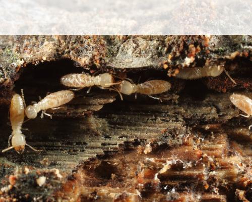 ヤマトシロアリの被害写真